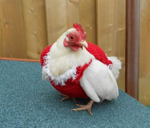 Голландцы раскупают рождественские свитера для куриц