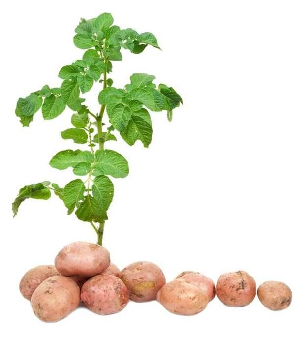 Двойной урожай картофеля