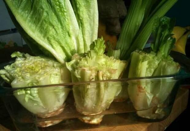 Картинки по запросу салат латук на подоконнике