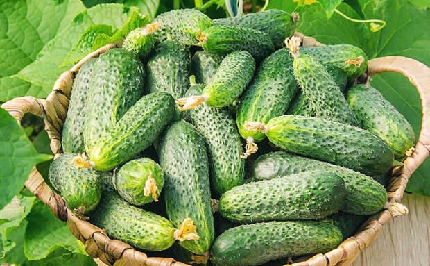 Добиваемся двойного урожая огурцов по совету фермера: выращиваем дополнительные корни