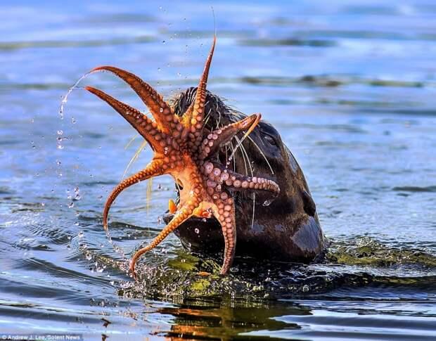 Непросто съесть живого осьминога