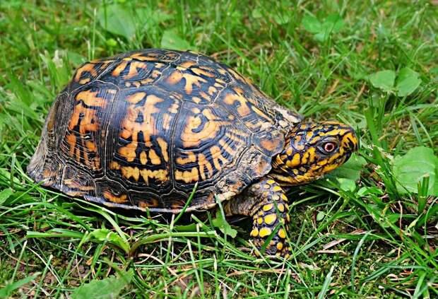 Что нужно знать о выращивании домашних черепах?