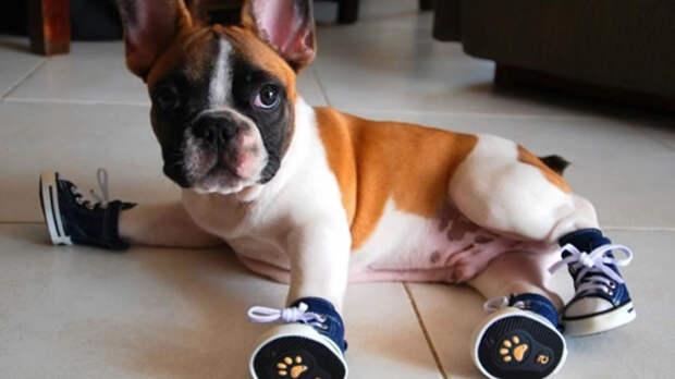 Приучать питомца к собачьей обуви следует в домашних условиях