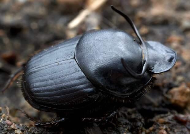 жук-навозник Onthophagus taurus
