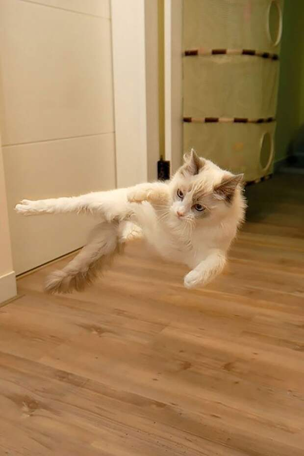 Коты-ниндзя, которые всовершенстве освоили древнее боевое искусство ниндзюцу