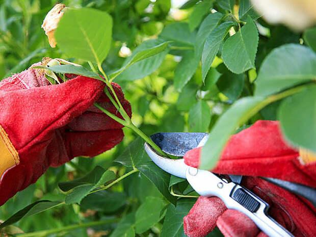 Как производится обрезка роз на зиму без ущерба для растения