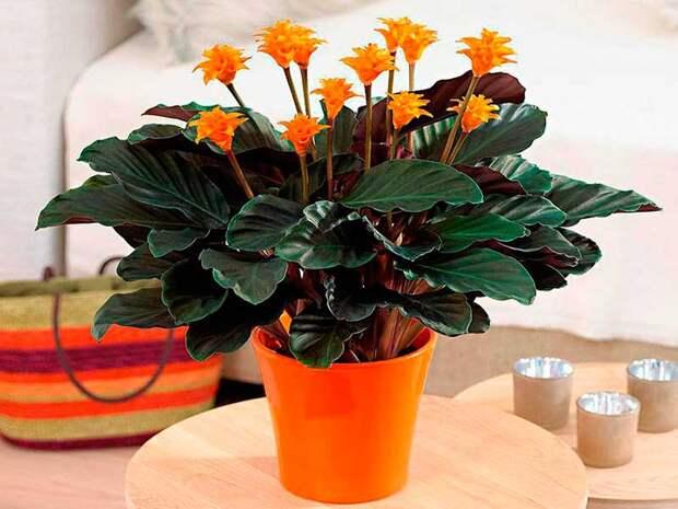 Комнатное растение Калатея (лат. Calathea)