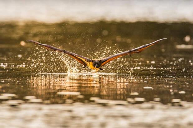 Летучая мышь над водой