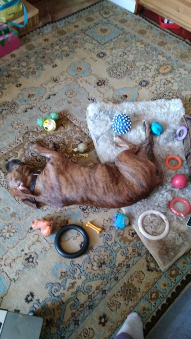 Питбуля привязали к дереву и оставили рядом лишь стеклянную бутылку питбуль, порода, приют, собака, хозяева