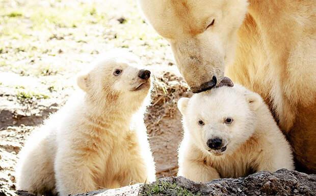 Вся Голландия наблюдала за появлением близнецов у белой медведицы в зоопарке
