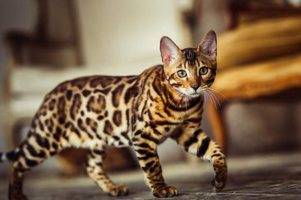 К сожалению, от бристольцев не осталось даже портретов. Но вот бенгальскими котиками мы можем полюбоваться всласть!