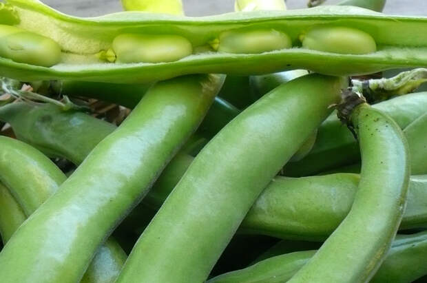 Бобы выращивают уже очень давно, и популярность их не падает!