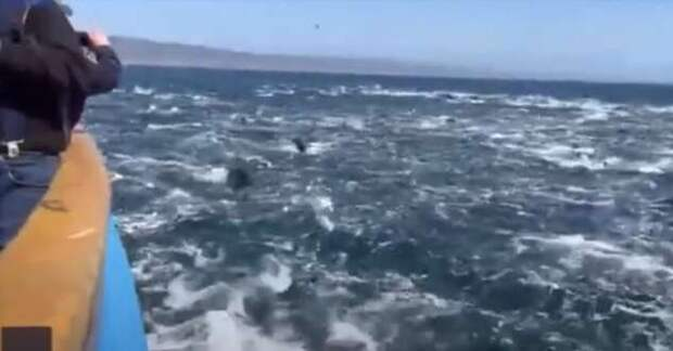 Они сошли с ума: дельфины сбились в невиданную ранее по размеру стаю и во всю прыть кинулись наперегонки (2 фото + 1 видео)