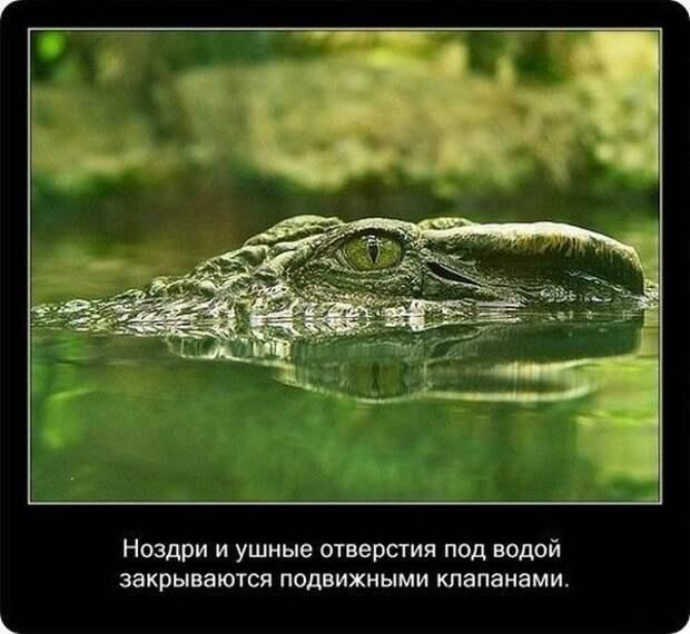 Факты о крокодилах и их среде обитания