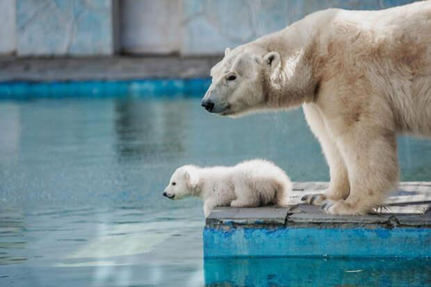 Донимающего маму белого медвежонка из зоопарка в Ростове-на-Дону сняли на видео