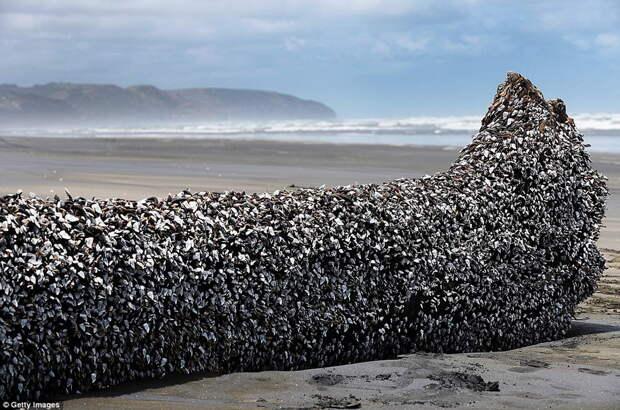 Морская уточка: животное или инопланетный пришелец?