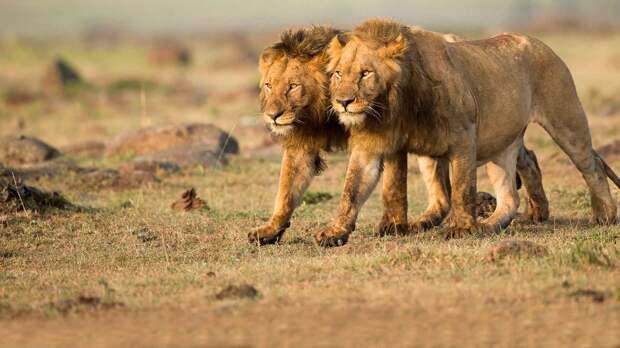 Лев царь зверей потому что он находится на вершине пищевой цепочки