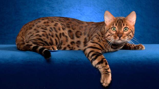 http://www.vancats.ru/images_7/Cat/Bengal_cat_8.jpg