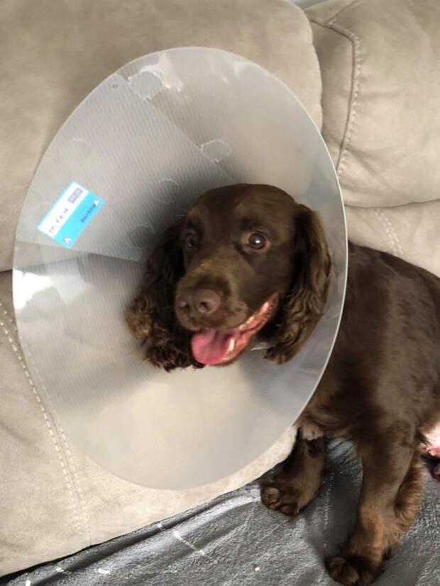 Этот пес повадился есть хозяйские носки. Пришлось ехать к ветеринару!