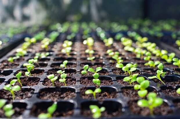 Идеальная рассада. 5 советов начинающим огородникам