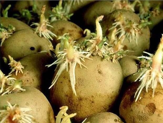 Картинки по запросу ростки картофеля