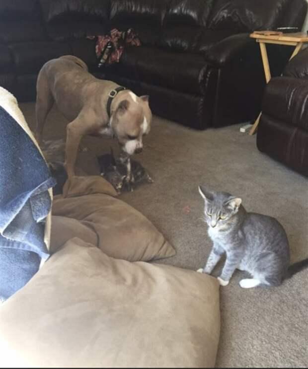 Этот сильный и гордый пес, обожает… кошек. Он стал папой маленьким котятам!