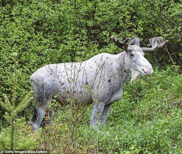 The white moose, considered sacred by locals, is being mourned in Timmins, Ontario, after it was killed by poachers in the city (stock image)
