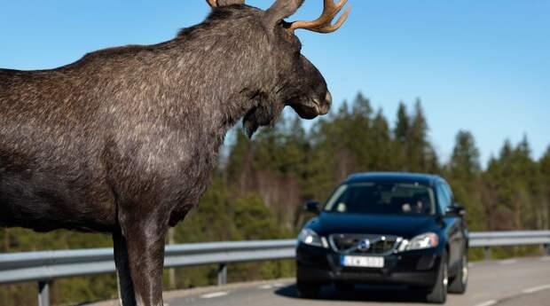 Невероятные случаи с животными на дороге, снятые на камеру (Видео)