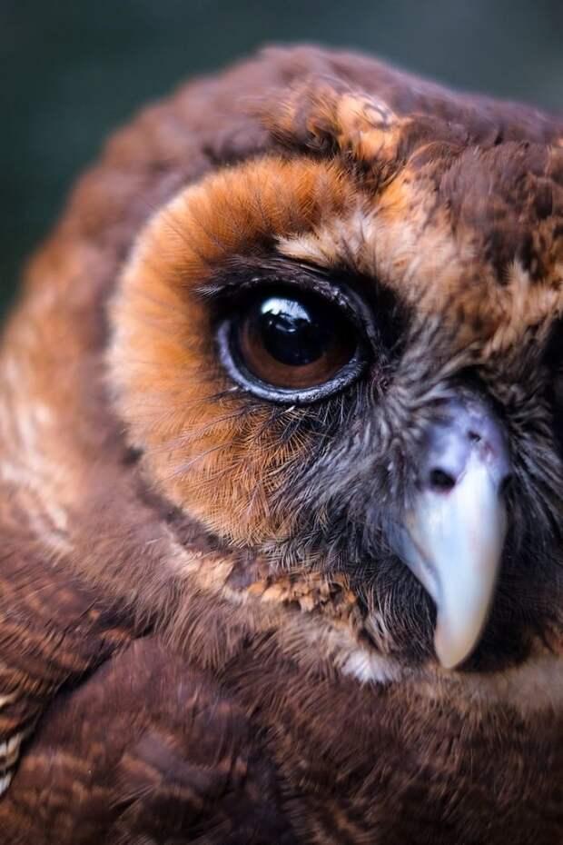 Эти чарующие глаза дикая природа, красиво, мир, планета, природа, птицы, совы, фото
