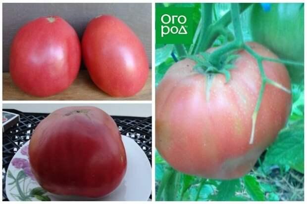 высокорослые томаты Яша югославский