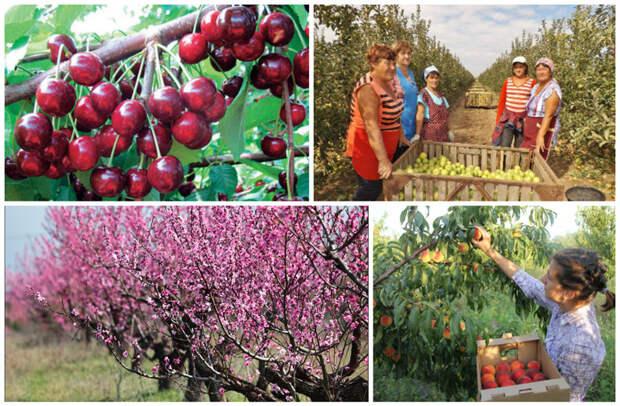 В Крыму имеются и другие фруктовые сады - черешня, вишня, яблоки, слива, груша, персики. заработать, интересное, крым, отдых