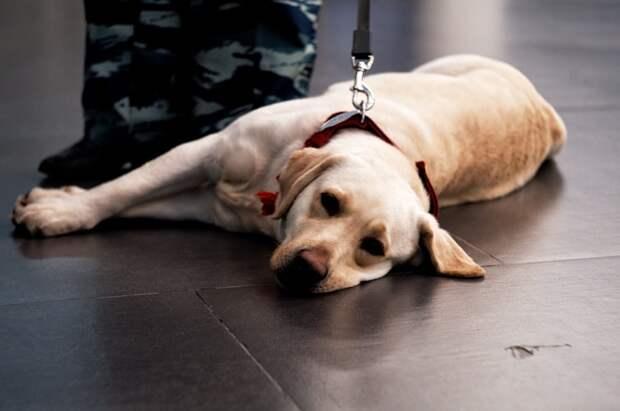 Служебная собака не пустила в Россию гашиш через Шереметьево