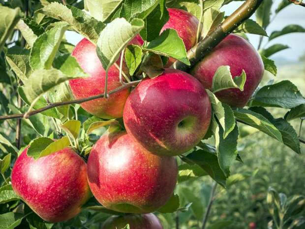 5 способов заставить деревья плодоносить быстрее
