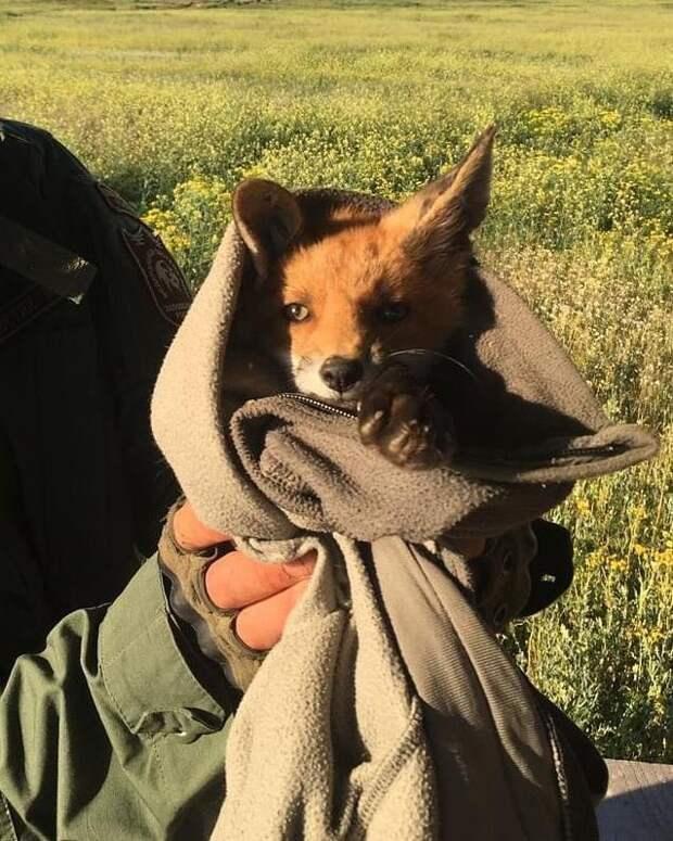 Одинокий лисёнок чуть не погиб из-за клещей, его спасли сотрудники заповедника. Милые фото