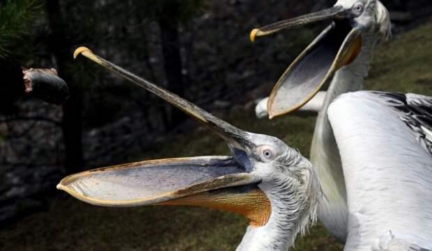 Пеликаны в Московском зоопарке переселились на «Болото»