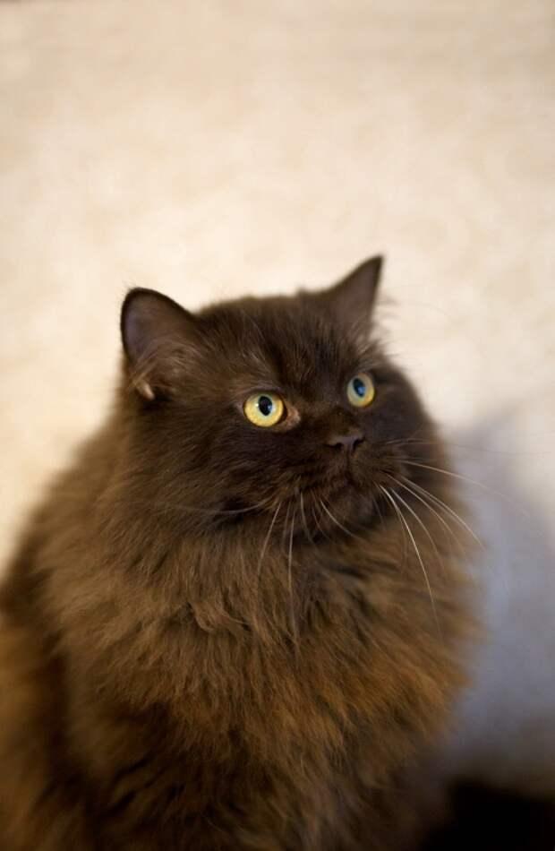 Аристократка британско-персидских кровей! Кошка Урсула знает себе цену, будет знать и вашу! )