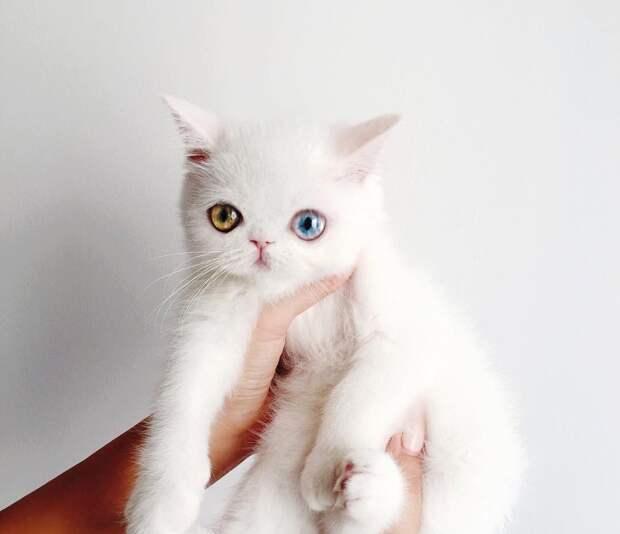 6 милых фото необычного котенка Пам Пам с разноцветными глазами