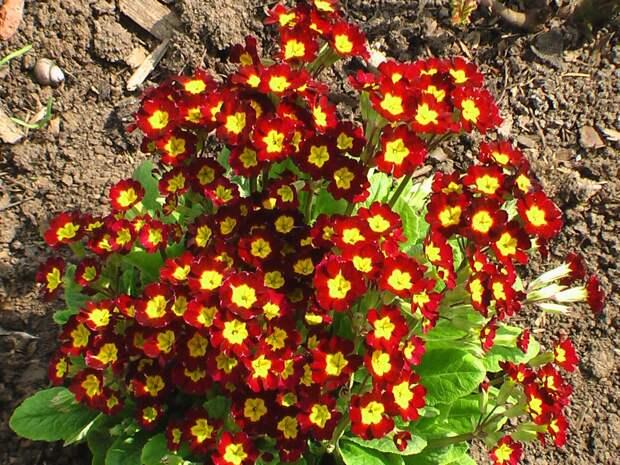 Примула - весенний первоцвет