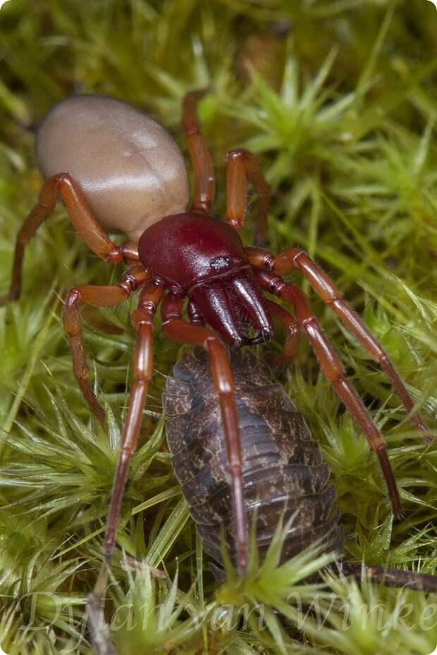 Трубковый паук Dysdera crocata