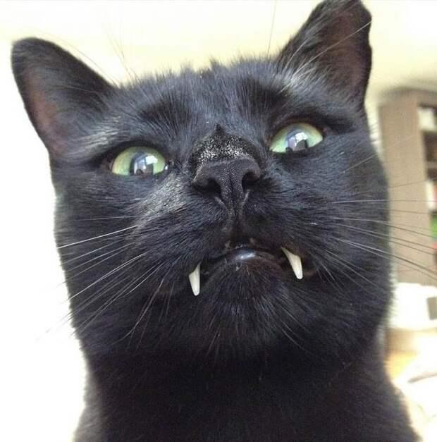 Невероятное зрелище - кот-вампир! клыки, кот, необычно