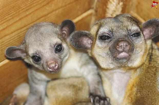 Каспер и Катя - родители Кэрри Фото: зоопарк Екатеринбурга
