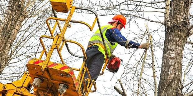 На Беломорской спиленные деревья были признаны аварийными – управа