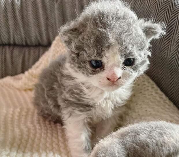 Кудрявые котята, похожие наплюшевые игрушки, неоставляют равнодушными никого