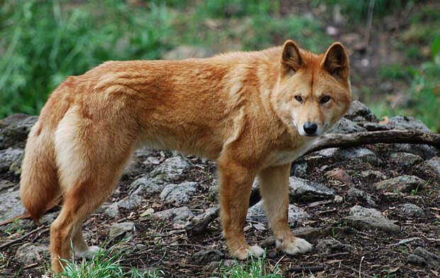 Динго: собака, которая оказалась волком