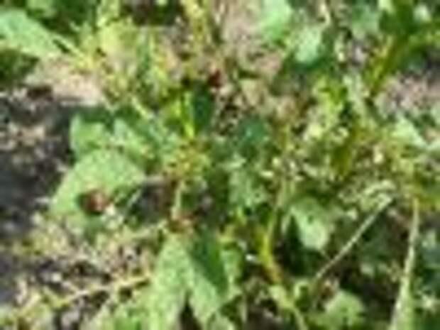 В Минске высадят ГМО-картофель, убивающий колорадского жука