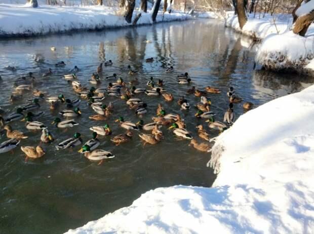Утки остались на зимовку в Долине реки Сходни в Куркине