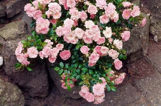Почвопокровная роза Фейри