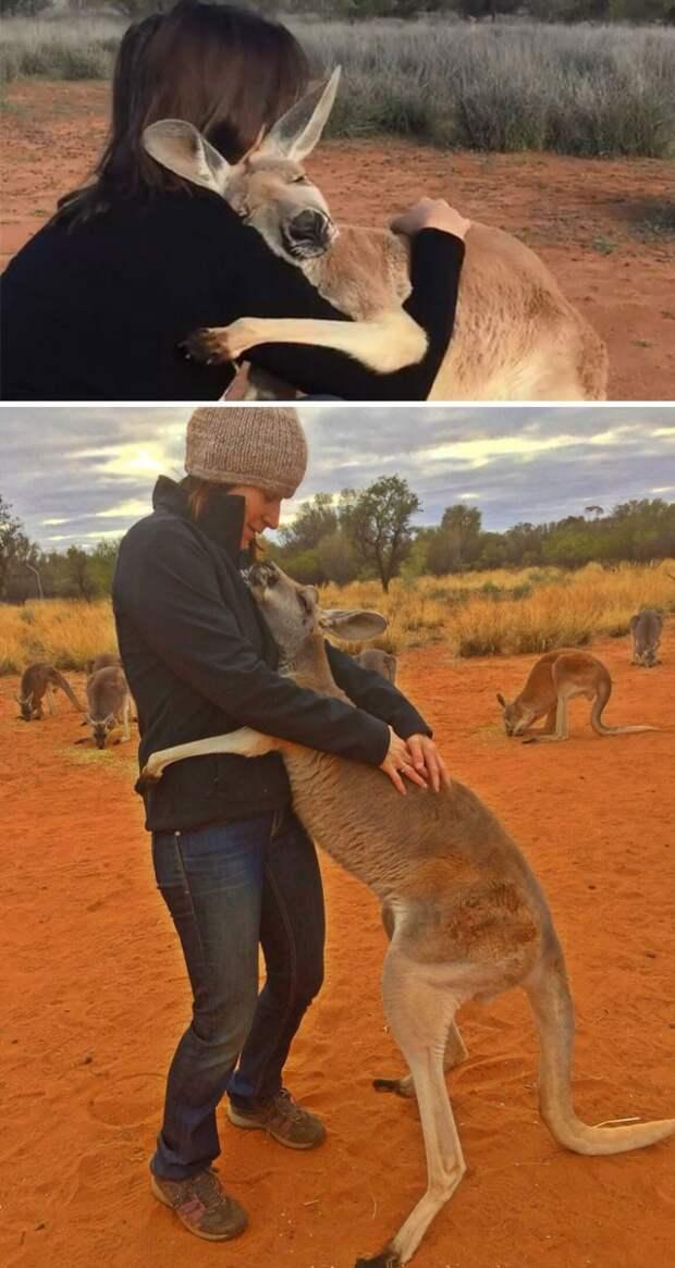 Спасенный кенгуру каждый день обнимает своих спасителей, давая им понять, как он им благодарен Счастливый конец, животные, спасение