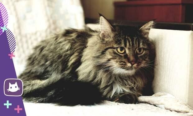 Знакомьтесь: сибирская кошка