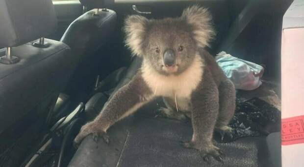 Забавная встреча: спасаясь от жары, коала забралась в машину с кондиционером